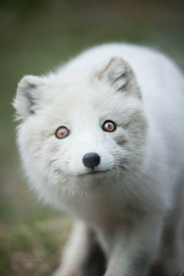 b8c10c70005e7e3ffad6debd7f932be2--arctic-animals-arctic-fox