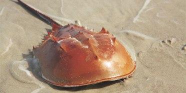 invertebrate_horseshoe-crab_600x300.jpg